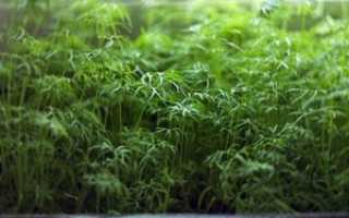 Выращивание укропа на подоконнике зимой и летом: как вырастить на балконе самому