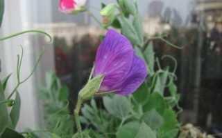 Душистый горошек на балконе — сорта, выращивание и уход