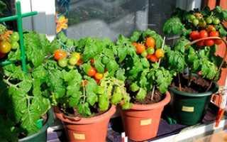 Выращивание помидоров на балконе: как вырастить томаты на подоконнике, пошагово