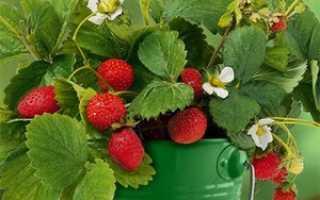 Выращивание клубники на балконе: способы, зимовка, видео