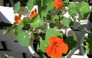 Настурция на балконе: выращивание, как вырастить на лоджии, уход, фото