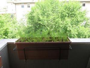 выращивание укропа на балконе