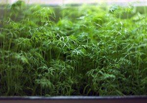 выращивание укропа на подоконнике