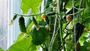 огурцы на подоконнике выращивание