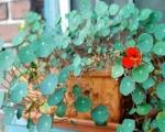 Настурция в деревянном ящике