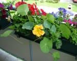 Выращивание настурции на открытом балконе