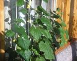 Выращивание огурцов на лоджии