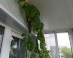 Как выращивать огурцы на балконе