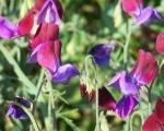 Душистый горошек фото цветов