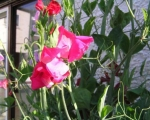 Душистый горошек цветок
