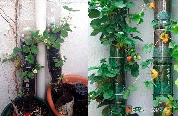клубника на балконе выращивание в пластиковых бутылках