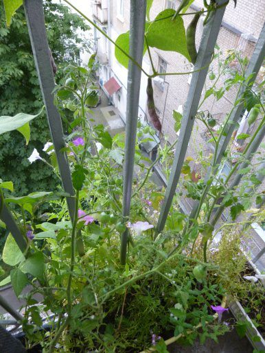 выращивание фасоли на балконе