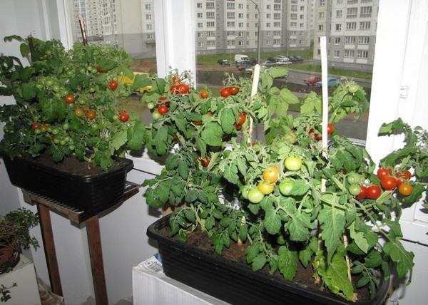 помидоры на балконе выращивание